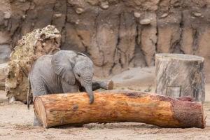 Nandi notebook: Updates on Tucson's baby elephant