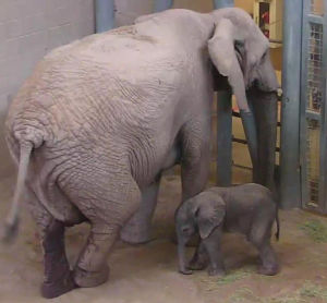 Tucson's 245-pound baby pachyderm is here