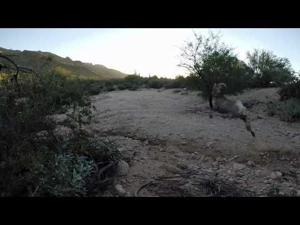 Santa Catalinas Bighorn Release 11-20-14