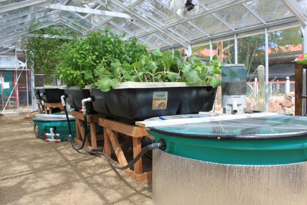 Tucson s aquaponics community in the spotlight tucson for Arizona aquaponics