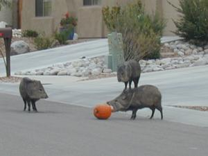 Autumn in Tucson: Pumpkins and peccaries don't mix