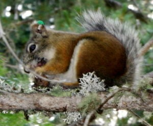 Forest project to benefit Mount Graham red squirrels