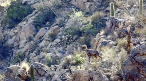 Bighorns finding their footing, wildlife officials say