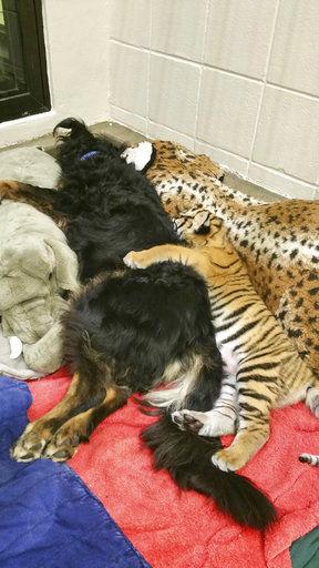 Dog takes over as tiger cubs' 'nanny' at Cincinnati Zoo   National ...