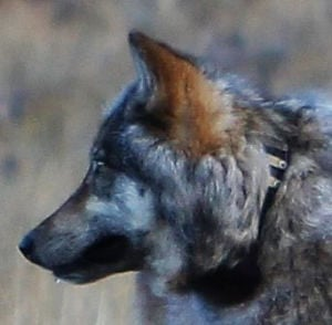 Well-traveled gray wolf 'looking for love' in Arizona
