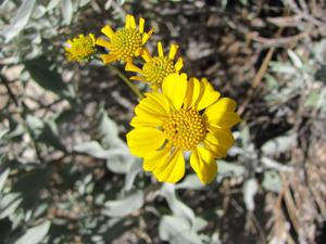 Wildflowers blooming in desert canyons — in midwinter