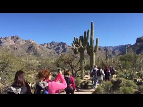 Saguaro superstar of Sabino Canyon