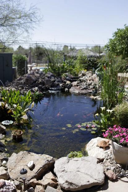 Koi ponds combine beauty calm tucson gardens for Koi pond keeping