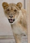Tucson's Reid Park Zoo adds a new lion