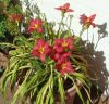 Daylily hybrid