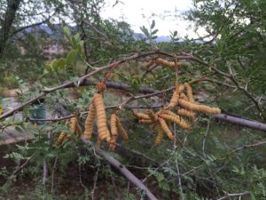 Ask the Garden Sage: What are these weird pods?