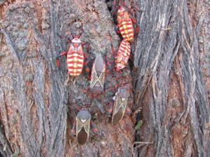 Giant mesquite bugs are beautiful, harmless and common