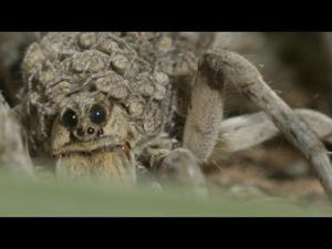 Mother wolf spider carries babies on her back