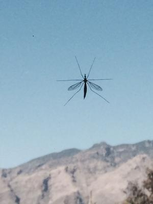 Giant mosquito-like bugs stick around Tucson