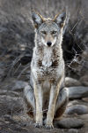 War on coyotes