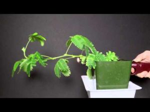 Video: Leaf me alone! Says the mimosa pudica