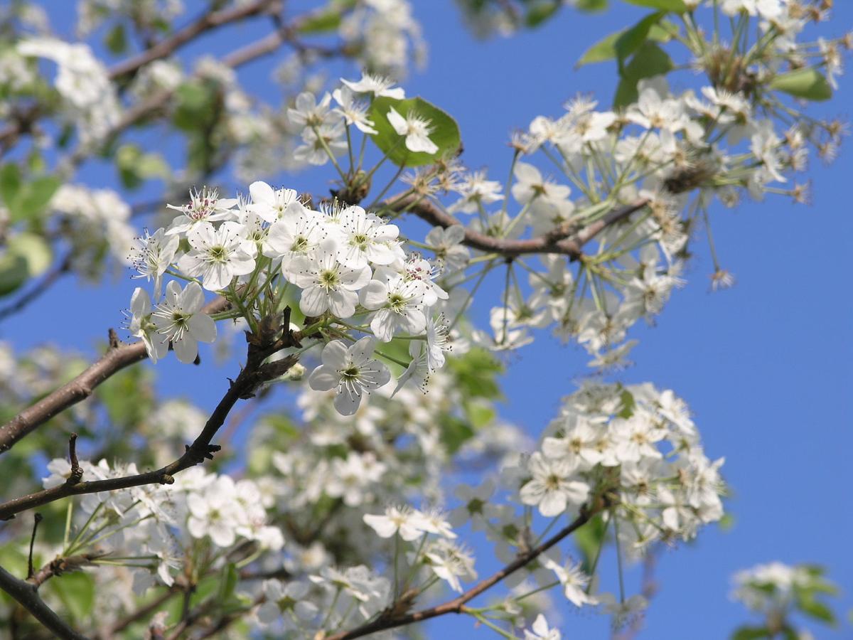 Garden sage Stinky pear trees avoiding mouse mayhem