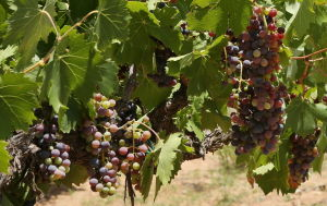 Rain poses minimal threat to AZ wine growers