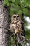 US to kill one type of owl to save another