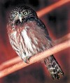 U.S. seeks to delist Arizona's pygmy owl