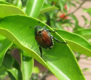 Garden Sage: Beetles, a snake plant and curling lemon tree leaves