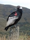 Colombia's majestic condors take wing with US zoos' help
