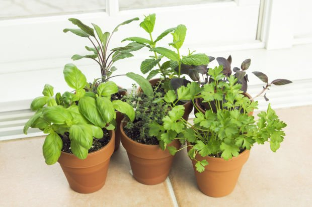 What Herbs Can I Grow Indoors?