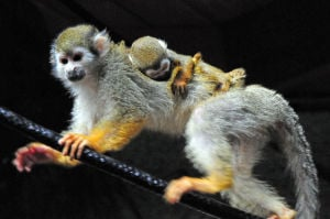 Photo of the day: Squirrel monkey