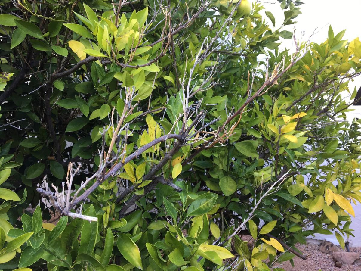 garden sage fields questions about thirsty citrus  rotting