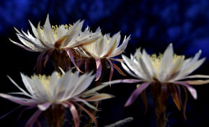 'Queen of the Night' mass bloom continues tonight