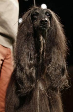 Photos: 137th Annual Westminster dog show announced