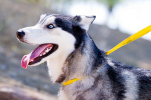 Siberian Husky marks a Pima County milestone