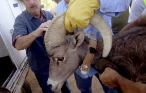 More bighorn sheep will be brought to Catalinas