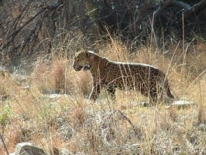 Sr. Reporter: Transcript raises doubts about jaguar research (updated)