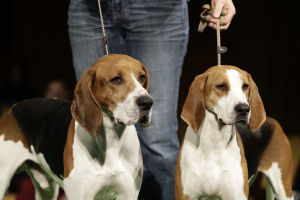 137th Annual Westminster dog show announced