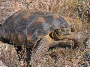 Desert tortoise's potential status could affect development