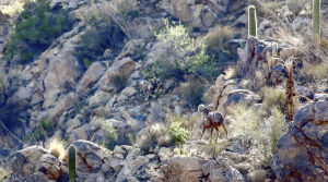 More bighorn sheep could be brought to Catalinas