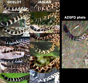 Did photo in Tucson capture tail of ocelot or jaguar?