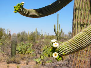 Photos: Saguaro flowers