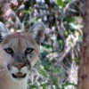 Mountain lion warning issued for Patagonia-area preserve