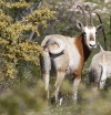 Rule curbs Texas hunting of 3 exotic-antelope types