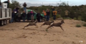 Three more bighorn sheep die in Catalina Mountains
