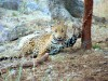 Capture of jaguar Macho B was intentional, federal investigators conclude