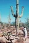 Now's the time to harvest Saguaro cactus fruit