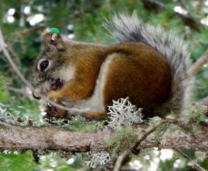 Endangered red squirrels appear to be holding their own