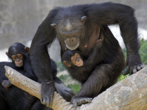 Photo of the day: New chimpanzees