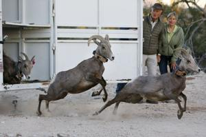Jack Hanna helps release bighorns into Catalinas