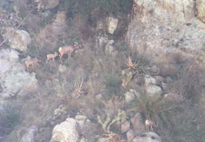 Eleventh lamb spotted in Catalinas north of Tucson