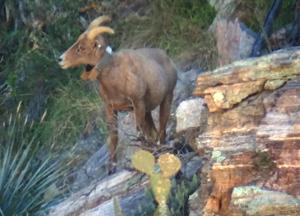 Nine bighorn lambs, pregnant ewes spotted in Catalinas