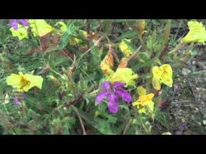 Rushing streams and wildflowers of Catalina Mountains